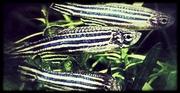 Nuevos potenciales tratamientos en el síndrome de Dravet desarrollados a partir del modelo del pez cebra
